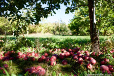 Cider Week in the Orchard